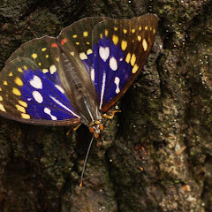 日本のチョウButterflies of Japan