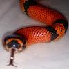 M.C. Reptiles