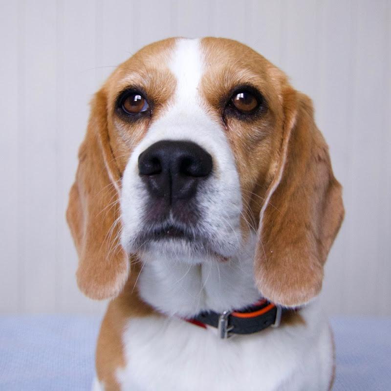 Джина The Beagle