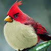 bird rojo