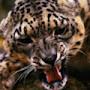 powerful Jaguar