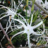 Galbana Lily