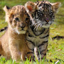 Tiger Cat 11