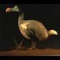 dodo10900