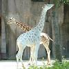AlbinoGiraffe123