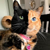 Venus the Two Face Cat