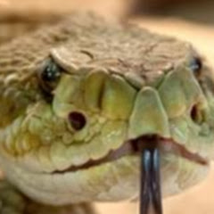 Austin The Rattle Snake