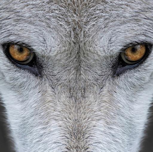 wolfstar024