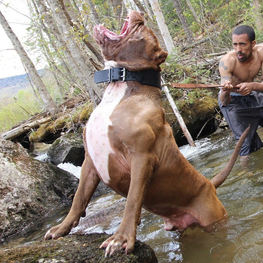 pitbulls on steroids
