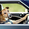 TheDrivingDogs