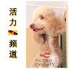 活力- 标准型贵宾犬   Wallie the Standard Poodle