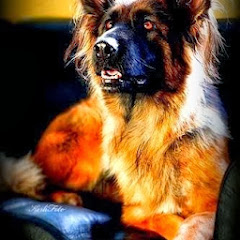 Adopt A Retired Police Dog South Africa