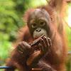 Orangutan COP