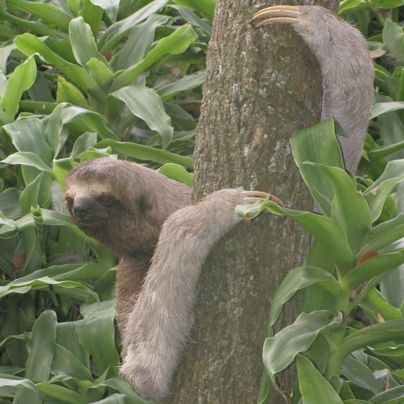 The Lethargic Sloth