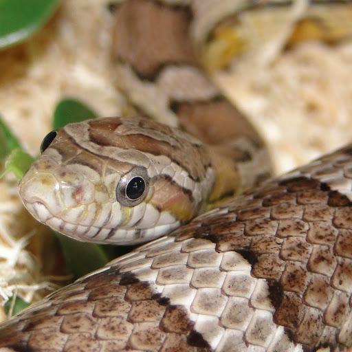 snakefollower