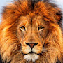 Lion 420