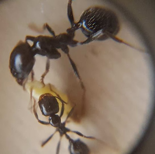 Krogzax Ants