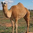 Clout Camel