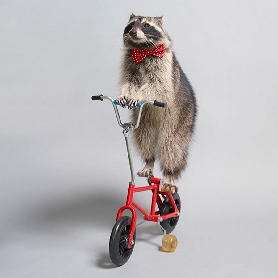 """Résultat de recherche d'images pour """"raccoon pushing"""""""