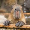 capybarahp