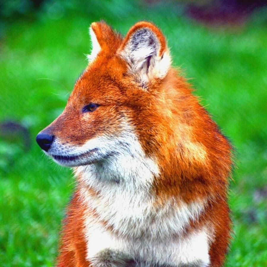 foxeno
