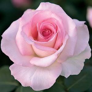 Fora Rose