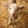 Pep Lamb