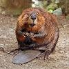 Feed the Beaver