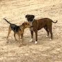 Sarge The Shelter Dog