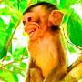 angkor diversity monkey
