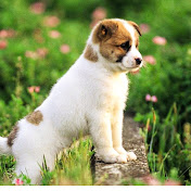 Asiankiki Dog