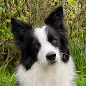 Rory the Quirky Border Collie