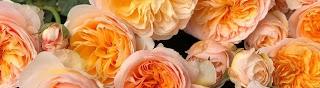 Vườn hoa hồng Chuẩn Garden TV