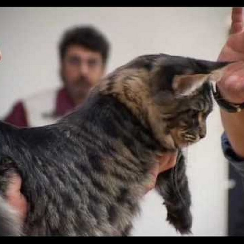 Speciale Maine Coon Club Salsomaggiore Terme Funnycattv