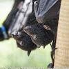 Bat Conservation & Rescue Qld Inc