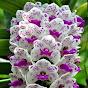 Orquídeas de A a Z