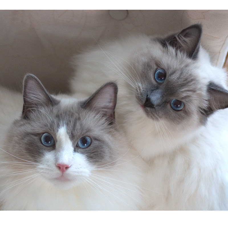 Merlin and Nerina - The Ragdoll Cats