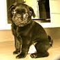 Maximus the Pug