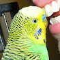 Disco the Parakeet