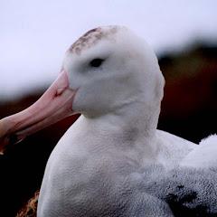 albatrhos
