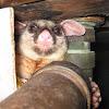 Peter the Possum Man Brisbane