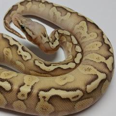 Brandon Ramos Reptiles