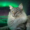 Montegancedo Gatos de los Bosques de Noruega