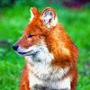 Foxen Anime