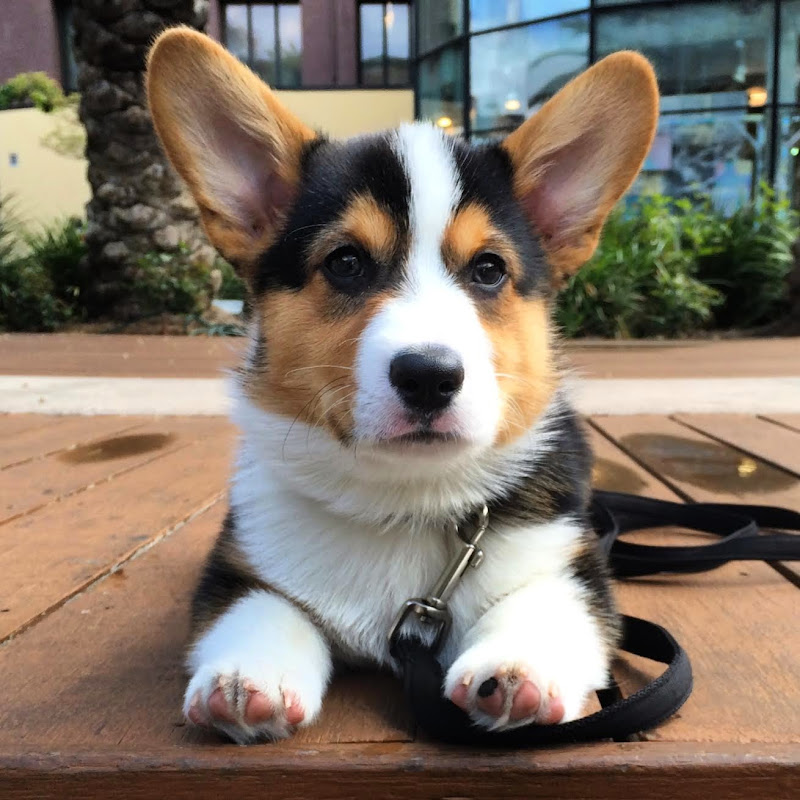 Great Gatsby the Corgi