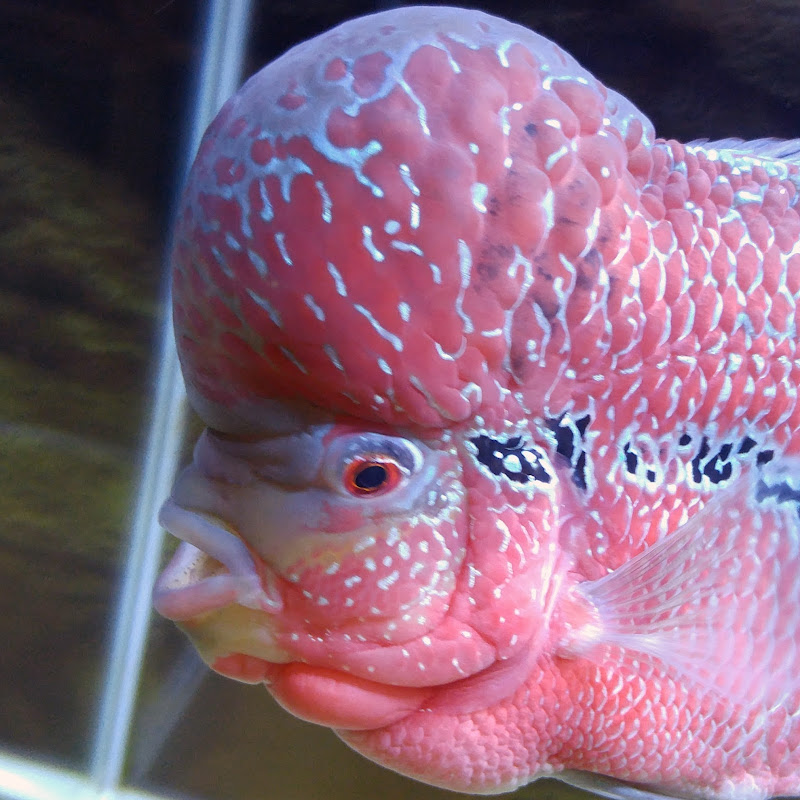 New Baby Flowerhorn and What I Feed Him | Doovi
