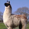 Watertown Llamas