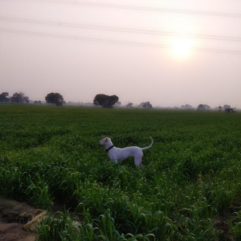 All india great bully kutta dog name Babbar , Mouzer ,Shreu ,Gujjar