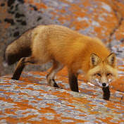 Foxhak27