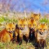 Fox Fine